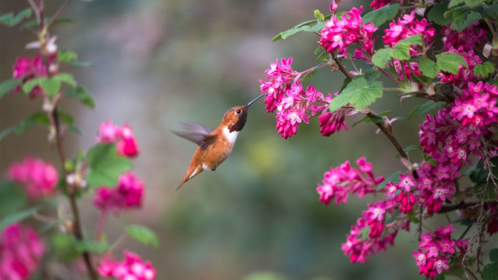 Humming Bird and Red-flowering Currant